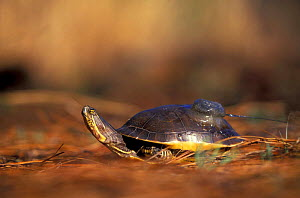 Chicken turtle {Deirochelys reticularia) with radio tag, N Carolina, USA  -  Todd Pusser