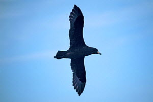 Parkinson's petrel {Procellaria parkinsoni) in flight, Eastern Tropical Pacific  -  Todd Pusser