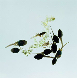 Tadpoles of Common Frog (Rana temporaria) with shed skin of Water boatman nymph on Bladderwort  -  Jane Burton