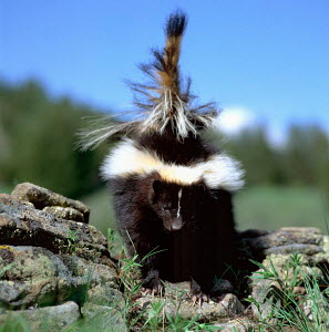 Striped Skunk with tail up (Mephitis mephitis) USA - Reinhard / ARCO