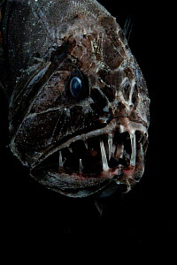 Fangtooth, bathypelagic fish (Anoplogaster cornuta), deep sea Atlantic ocean  -  David Shale