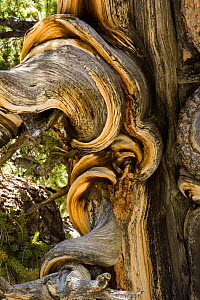 Close-up of Bristlecone pine tree trunk {Pinus aristata} Inyo county, California, USA. - Adrian Davies