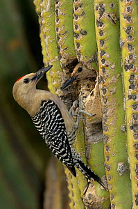Gila Woodpecker (Melanerpes uropygialis) Pair at nest hole in Saguaro Cactus, Arizona, USA - Dave Watts