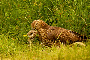 Honey Buzzard (Pernis apivorus) adult eating extracting wasp larvae from wasp nest to feed to chicks, Europe  -  Dave Watts