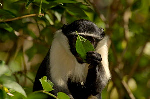 Diana Monkey feeding on leaf (Cercopithecus diana) Captive  -  Dave Watts