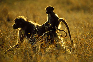 Yellow Baboon {Papio cynocephalus} Young riding on mother's back, Kruger National Park, South Africa  -  Dave Watts