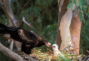 Wedge-tailed Eagle {Aquila audax} adult feeding chick at nest, New South Wales, Australia - Dave Watts