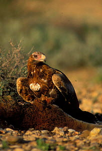 Wedge-tailed Eagle {Aquila audax} feeding on kangaroo carcass surrounded by flies, Central Australia - Dave Watts