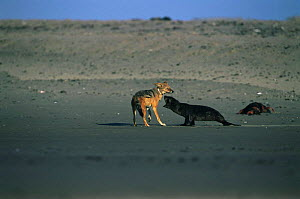 Cape Fur Seal pup (Arctocephalus pusillus pusillus) fends off Black backed jackal (Canis mesomelas) Cape Cross Seal Reserve, Namibia  -  Anup Shah
