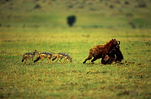 Spotted hyaena {Crocuta crocuta}carrying carcass in mouth followed by three Black backed jackals {Canis mesomelas}  Masai Mara reserve, Kenya  -  Anup Shah