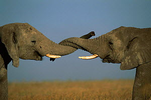 African elephants sparring {Loxodonta africana} trunks entwined, Serengeti NP, Tanzania - Anup Shah