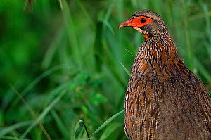 Red necked spurfowl (Francolinus afer) Serengeti NP, Tanzania - Anup Shah
