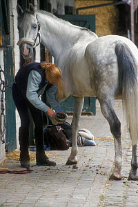 Cleaning hoof of horse in stable {Equus caballus} Belgium  -  Philippe Clement