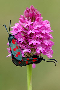 Five-spot burnet moths {Zygaena trifolii} mating on Pyramidal orchid {Anacamptis pyramidalis} Cornwall, UK.  -  Ross Hoddinott