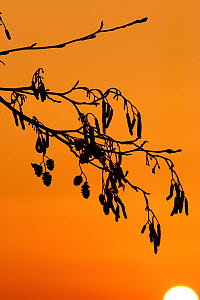 Common alder (Alnus glutinosa) catkins silhouetted. Cornwall. UK  -  Ross Hoddinott