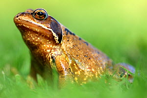 RF- Common frog (Rana temporaria). Cornwall, UK. (This image may be licensed either as rights managed or royalty free.)  -  Ross Hoddinott
