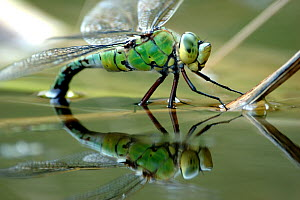 Female emperor dragonfly (Anax imperator) laying eggs at the edge of a pond. Cornwall, UK. - Ross Hoddinott