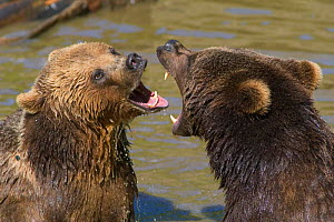 Brown bears {Ursus arctos} fighting / mouthing in water, captive, Bavarian forest, Germany. - Philippe Clement