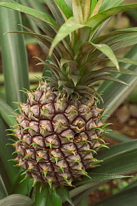 Close-up of Pineapple {Ananas comosus} fruit, Botanical gardens, Belgium.  -  Philippe Clement