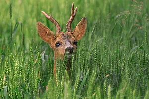 Portrait of Roe deer {Capreolus capreolus}in wheat field, La Brenne, France. - Philippe Clement