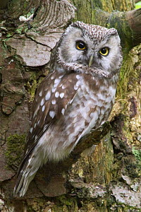 Tengmalm's owl portrait {Aegolius funereus} captive, Bavarian Forest, Germany.  -  Philippe Clement