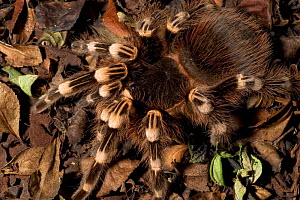 Brazilian Black and White Tarantula (Nhandu coloratovillosus) from Peru. Captive  -  David Shale