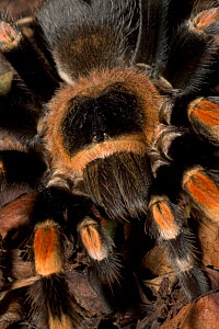 Mexican Red-Knee Tarantula {Brachypelma smithi}  close-up of carapace, captive  -  David Shale