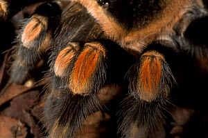 Mexican Red-Knee Tarantula spider {Brachypelma smithi}  close-up of diagnostic red knee, Captive  -  David Shale