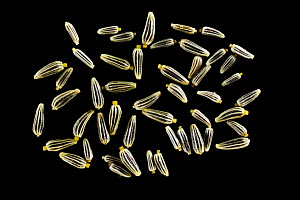 Seeds of Oxeye daisy (Chrysanthemum leucanthemum), Europe. Dispersal is coincidental by wind, animals or water. The seeds lack any obvious structures for specialised dispersal.  -  Solvin Zankl
