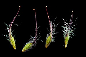 Seeds of Water avens (Geum rivale), Europe. Water aven seeds have numerous hairs, which enable dispersal by wind, as well as a long hooked tail formed by the style, which readily attaches to mammal fu... - Solvin Zankl