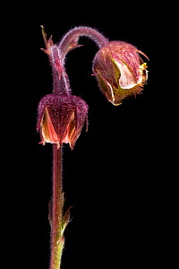 Flower of Water avens (Geum rivale), Europe  -  Solvin Zankl
