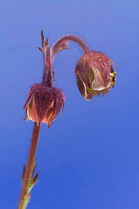 flower buds of Water avens (Geum rivale), Europe  -  Solvin Zankl