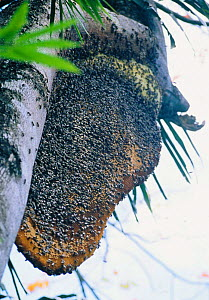 Nest of Giant honey bee {Apis dorsata binghami) in rainforest tree, collected for honey. North Pamona district, Sulawesi, Indonesia - Solvin Zankl