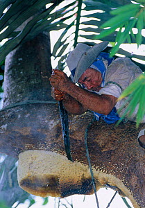 After climbing rainforest tree with smoker tool made from bamboo and palm leaves to drive away Giant honey bees (Apis dorsata binghami), Nest is then cut and squeezed to harvest wild honey, North Pamo... - Solvin Zankl