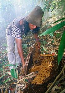 Nest of Giant honey bee (Apis dorsata binghami) is cut from tree and squeezed to harvest wild honey, North Pamona sub-district, Sulawesi, Indonesia - Solvin Zankl