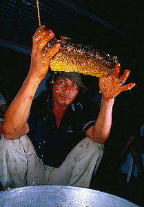 Honey dripping from nest of Giant honey bee (Apis dorsata binghami) that has been cut from tree before being squeezed to harvest wild honey, North Pamona sub-district, Sulawesi, Indonesia  -  Solvin Zankl