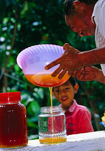 Bottling honey that has been harvested from nest of Giant honey bee (Apis dorsata binghami) North Pamona sub-district, Sulawesi, Indonesia - Solvin Zankl