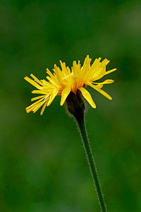 Rough hawkbit flower {Leontodon hispidus}, Peak District, UK  -  Paul Hobson
