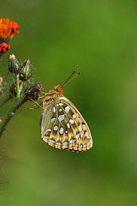 Dark green fritillary butterfly {Argynnis / Mesoacidalia aglaja} resting on Northern hawkbeard, Peak District, UK.  -  Paul Hobson
