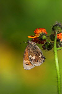 Large heath butterfly {Coenonympha tullia} adult feeding on Northern hawkbit, Southern Yorkshire, UK. - Paul Hobson