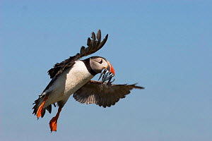 Adult puffin {Fratacula arctica} in flight with Sand eels, UK.  -  Paul Hobson