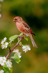 Redpoll {Carduelis flammea} male in spring blossom, southern Yorkshire, UK. - Paul Hobson