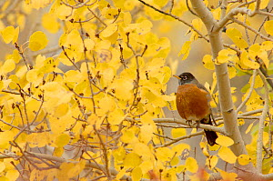 American robin {Turdus migratorius} Male in Aspen tree, Grand Teton NP, Wyoming, USA - Rolf Nussbaumer