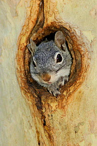 Arizona grey squirrel {Sciurus arizonensis} looking out of hole in sycamore tree, Arizona, USA - Rolf Nussbaumer