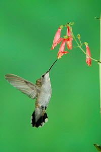 Black chinned hummingbird {Archilochus alexandri} female feeding on Penstemon flower, Arizona, USA - Rolf Nussbaumer