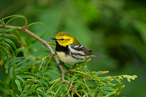 Black throated green warbler {Dendroica virens} male, Texas, USA  -  Rolf Nussbaumer