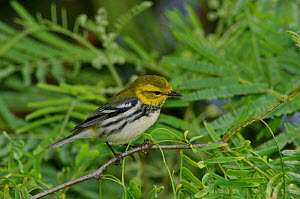 Black throated green warbler {Dendroica virens} female, Texas, USA  -  Rolf Nussbaumer