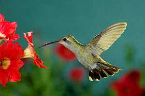 Broad billed hummingbird {Cynanthus latirostris}female feeding on Petunia flower, Arizona, USA, - Rolf Nussbaumer