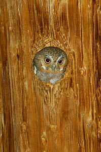 Elf owl {Micrathene whitneyi} adult in nest hole in telephone post, Arizona, USA - Rolf Nussbaumer