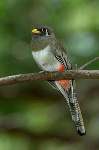 Elegant / Coppery tailed trogon {Trogon elegans} Female, Arizona, USA  -  Rolf Nussbaumer
